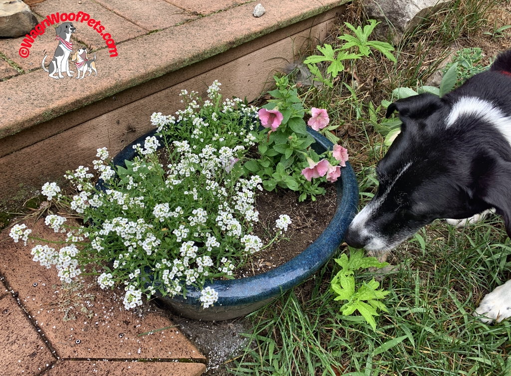 Alyssum & Petunias