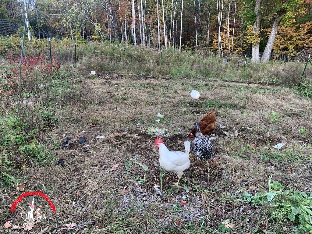 Chickens on Garden Clean-up Duty