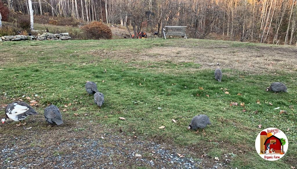 The Guinea Fowl Flock