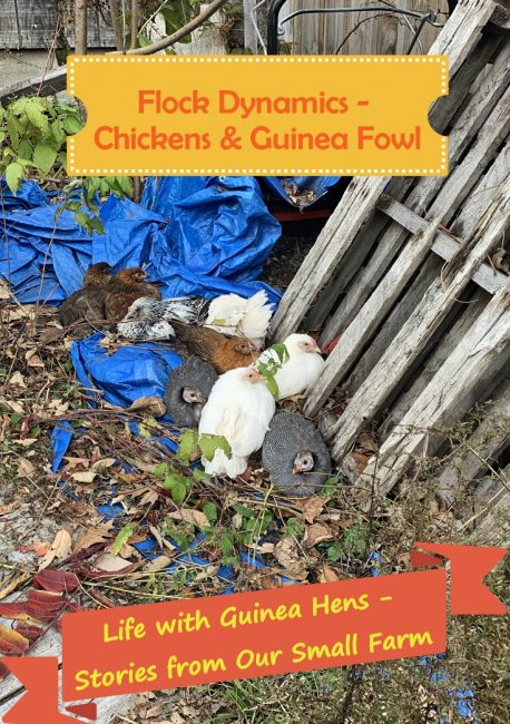 Life with Guinea Hens