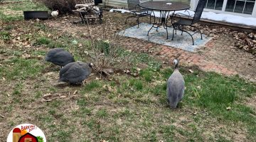 Guinea Fowl Cleaning Up Yard