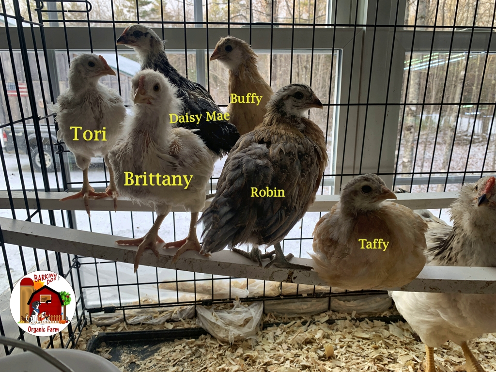 New Chick Additions