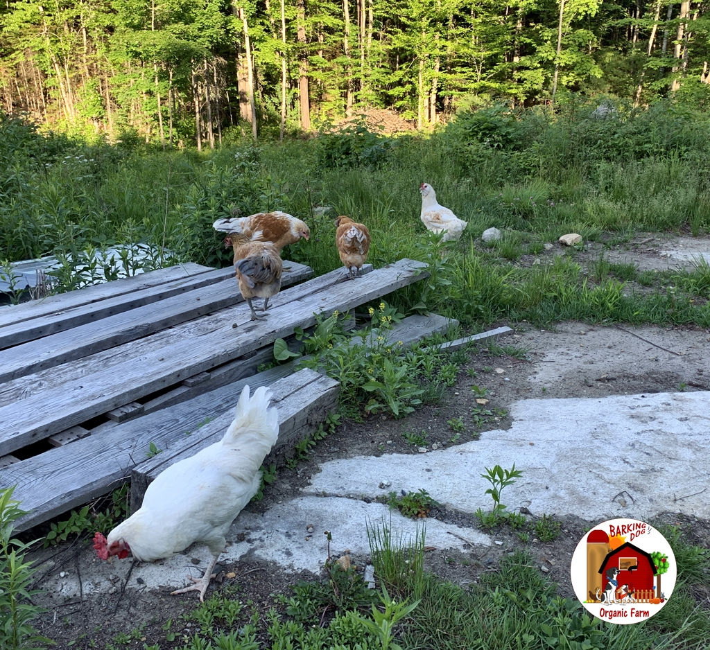 Pullets and Cockerel