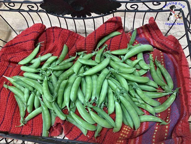 Farm Fresh Sugar Snap Peas