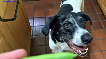 Dogs Love Sugar Snap Peas