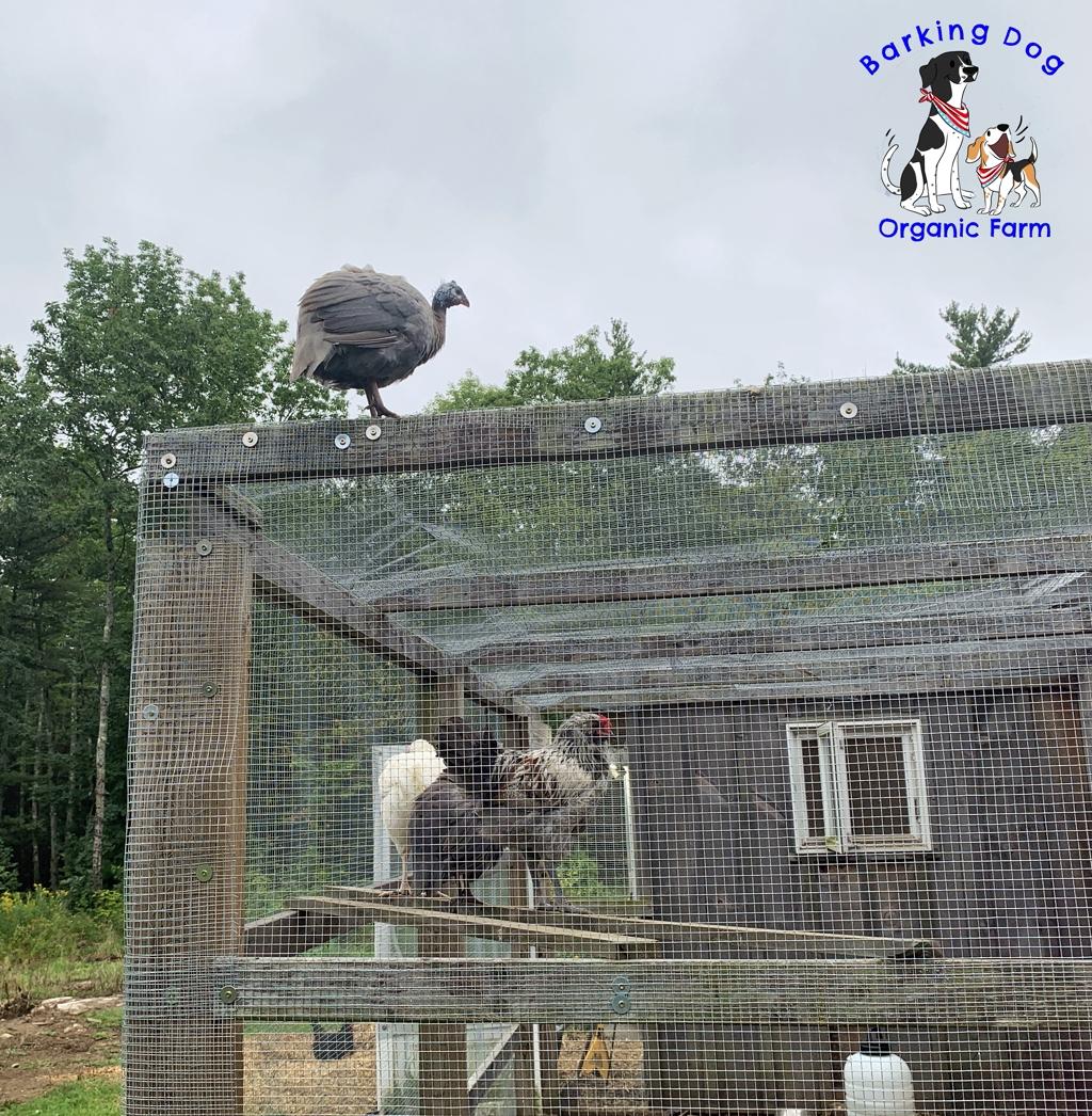 Guinea Fowl Fly!