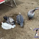 It's All in the Call – Identifying the Sex of Young Chickens & Guinea Fowl