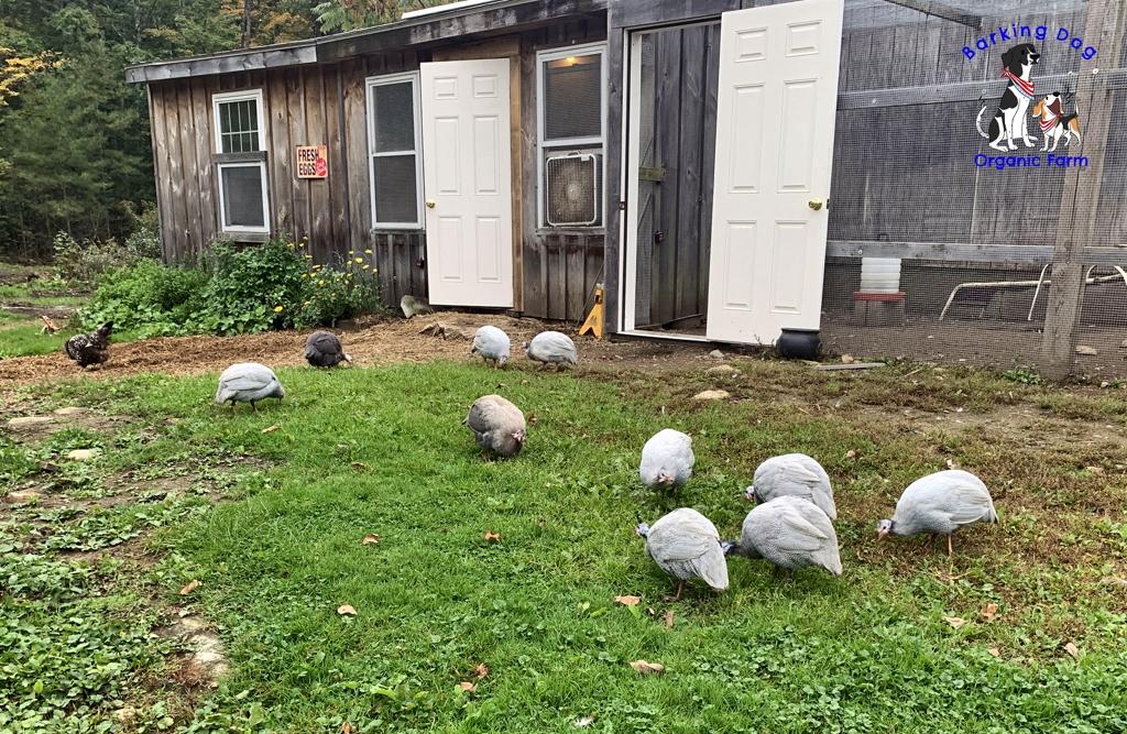 Guinea Fowl Flock